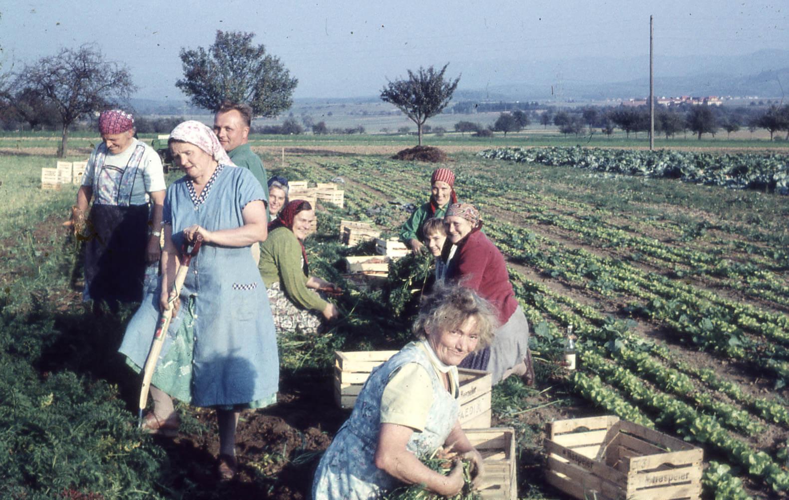 Karottenernte '62